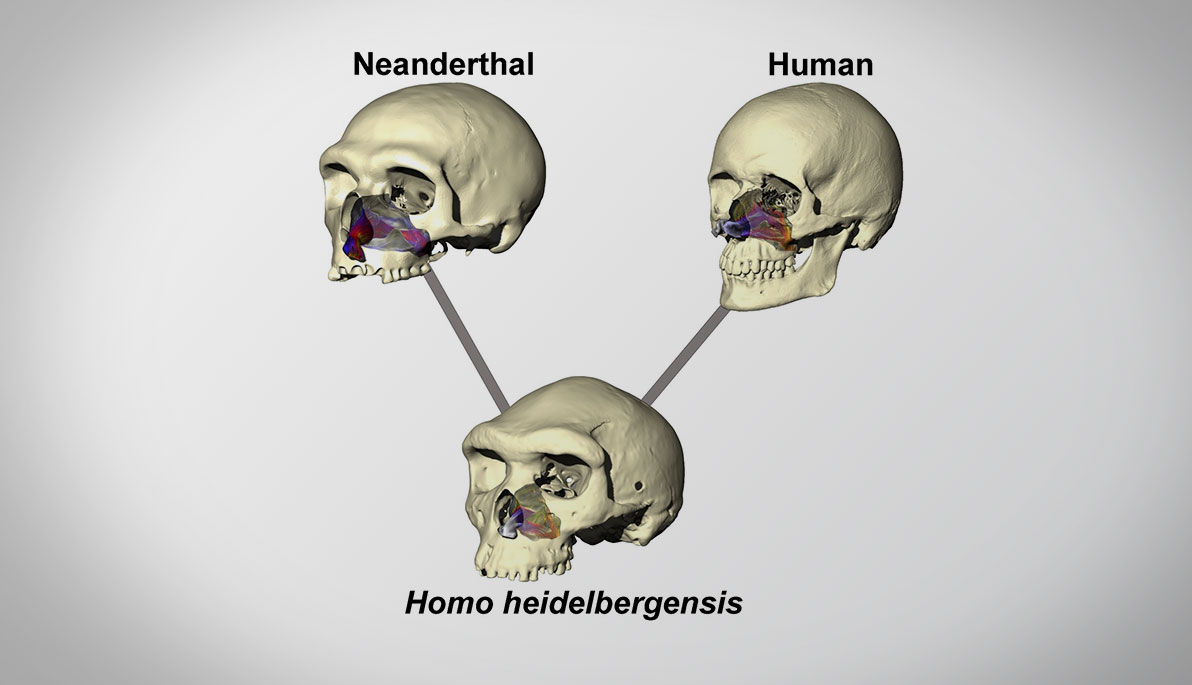 About Face Why Neanderthals Look Different From Modern Humans Box