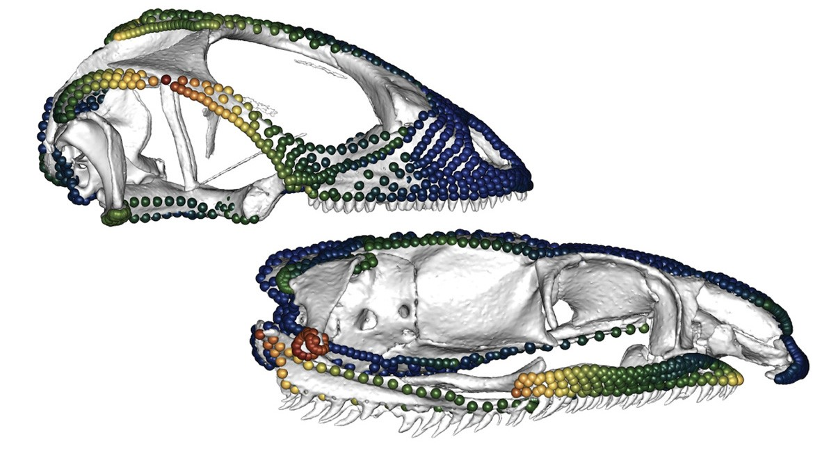 Q&A: How Lizards and Snakes Got Their Skull Shapes