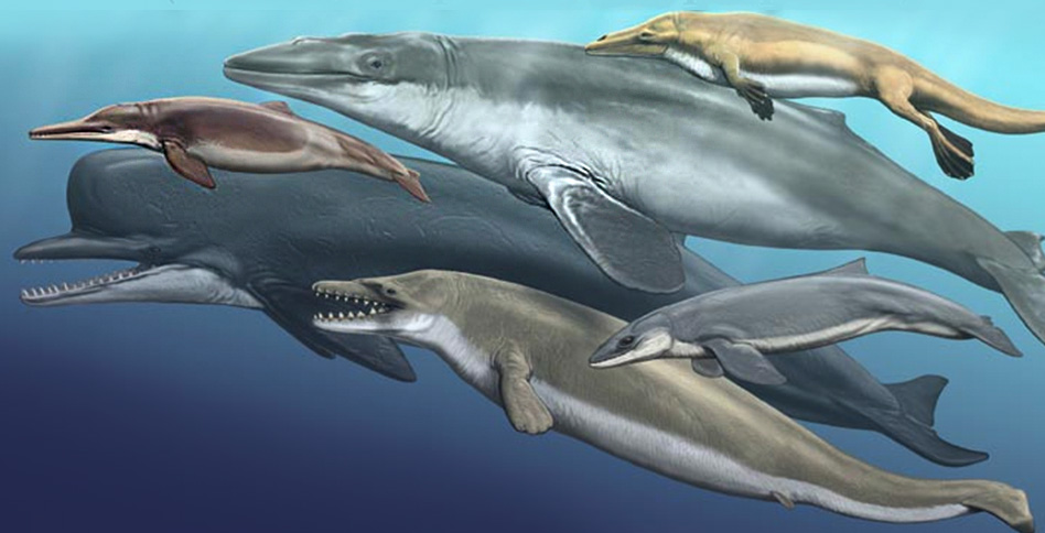 the evolution of dolphins essay Published: tue, 31 jul 2018 the purpose of the respiratory system is to allow gas exchange throughout all body parts of most animals the evolution of the respiratory system is responsible for different respiratory structures in diverse animals and it has allowed them to keep up with their oxygen demands.